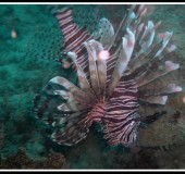 DR Lion fish